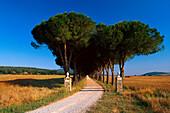Pine Avenue, Parco Naturale di Maremma Tuscany, Italy