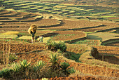 Landscape with grain terraces, Highlands, Madagascar, Africa
