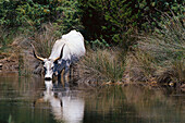 Long-horn, Canale Collelungo, Parco Naturale di Maremma, Tuscany, Italy
