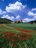 View over the poppy field on Sant' Antimo Abbey, Sant' Antimo, Lucca, Tuscany, Italy