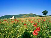 Poppy seed, Abbazia di Sant´Antimo, St. Antimo´s Abbey, near Montalcino, Tuscany, Italy