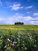Blumenfeld und Zypresse, Toskana, Italien