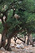 Goats on Arganien, Anti-Atlas Marocco
