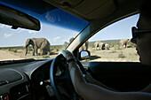 Woman watching African Elephants through car window, safari, Addo Elephant Park, Eastern Cape, South Africa