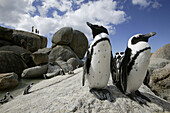 Colony of African penguins, Boulders Beach near Simons Town, West Cape, South Africa, Africa