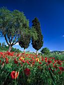Mohnfeld und Zypresse, Chianti, Toskana, Italien