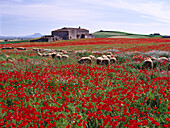 Cottage surrounded by poppies, meadow, near Manacor, Majorca, Spain