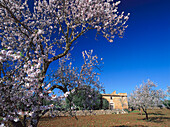 Country house with almond tree in full blossom, near Santanyi, Majorca, Spain