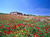 Farmhouse and meadow filled with poppies, near Manacor, Majorca, Spain