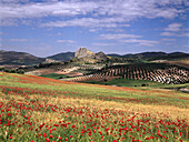 Poppies and idyllic hilly landscape, Puerto Lopez, Provinz Granada, Andalusia, Spain, Europe