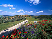 Poppies and idyllic hilly landscape, Montefrio village, Provinz Granada, Andalusia, Spain, Europe