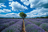 Lavender field and almond tree under clouded sky, Alpes de Haute Provence, Provence, France, Europe