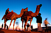 People and camels in the evening, Dubai, UAE, United Arab Emirates, Middle East, Asia