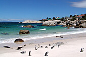 Penguin colony on the beach, Boulders Beach, Cape Town, South Africa, Africa