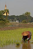 Woman planting rice, in fields by Ava, Frau im Hut, beim Reis einpflanzen, Feldarbeit
