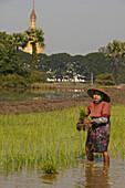 Woman standing planting rice in fields, Ava, Myanmar