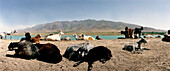 Goats, Silk Road, Uzbekistan