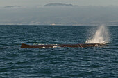 Sperm whale at water surface, Kaikoura, New Zealand, Oceania