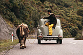 Farmer Greg with car and cow Blossom on a country road, New Zealand, Oceania