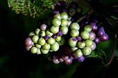 Grapes, Close-up