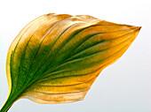 Autumn Leaf, Stillife