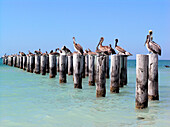 Pelicans sitting on wooden poles, Key West, Florida, America