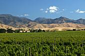 Vineyard near Blenheim, NZ, Wine-growing area, Marlborough, South Island, Weinanbau