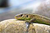 A sand lizard sitting on a stone
