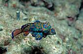 Mandarinfische, Mandarinfish, Synchiropus splendid, Synchiropus splendidus