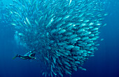 Bigeye trevally and scuba diver, Caranx sexfasciatus, Malaysia, Sipadan, Borneo, Celebessee