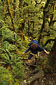 Trekking in moss-covered forest, Mountain beech forest overgrown with Moss and lichen, fairytale-like forest, Caples Track, Fiordland NP