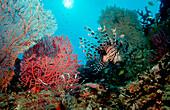 Rotfeuerfisch, lionfish, turkeyfish, Pterois volit, Pterois volitans