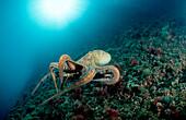 Octopus, Octopus vulgaris, Spain, Mediterranean Sea, Costa Brava