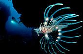 Juvenile Lionfish and scuba diver, Pterois volitans, Indonesia, Bali, Indian Ocean