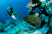 Giant moray and scuba diver, Gymnothorax javanicus, Egypt, Red Sea, Brother Islands
