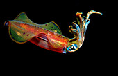 Reef squid at night, Sepioteuthis lessoniana, Egypt, Red Sea, Brother Islands