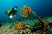 Fan worm and scuba diver, Spirographis spallanzani, Spain, Mediterranean Sea, Costa Brava