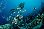 Rotfeuerfische und Taucher, lionfish, turkeyfish a, turkeyfish and scuba diver, Pterois volitans