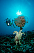 Hawksbill turtle eating jellyfish and scuba diver, Eretmochelys imbricata, Maldives Island, Indian Ocean, Ari Atol