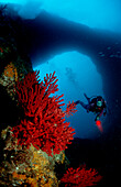 Scuba Diver and Red Corals, France, Mediterranean Sea, Marseille