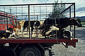 Sheep dogs in pick-up truck, NZ, Working dogs in truck, South Island, New Zealand
