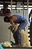Sheep shearing, in shed, NZ, Shearer at work, South Island, New Zealand Schafscherer