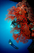 Scuba diver and coral reef, Indonesia, Bali, Indian Ocean