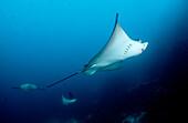 Spotted Eagle ray, Aetobatus narinari, Ecuador, South America, Galápagos, Galapagos, Island, Pacific Ocean