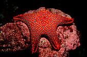 PANAMIC CUSHION STAR, PENTACERASTER CUMMUNGI, Ecuador, South America, Galápagos, Galapagos, Island, Pacific Ocean
