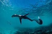 Galapagos-Seeloewe, FUR SEA LION, ARCTOCEPHALUS GAL, ARCTOCEPHALUS GALAPAGOENSIS