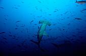 SCALLOPED HAMMERHEAD SHARKS, SPHYRNA LEWINI, Ecuador, South America, Galápagos, Galapagos, Island, Pacific Ocean