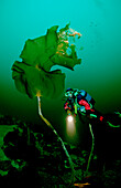 Taucher und Kelp, Scuba diver