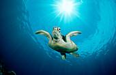Green Turtle, Chelonia mydas, Malaysia, Pazifik, Pacific ocean, Borneo, Sipadan