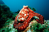 Indo-Pacific Day-Octopus foraging, Octopus cyanea, Burma, Myanmar, Birma, Indian ocean, Andaman sea